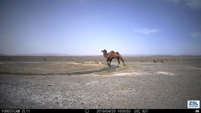 Update 3 - February 2020  Camels and other species in the Gobi Desert